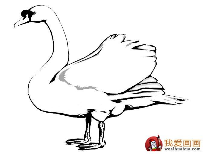 简笔画天鹅:7副高清天鹅的简笔画图片(7)