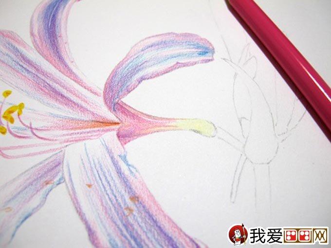 彩铅画花卉绘画教程 彩色铅笔画石蒜的手绘过程(11)