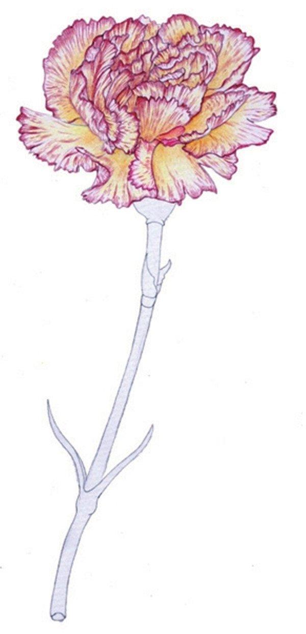 彩铅康乃馨的绘画步骤(2)