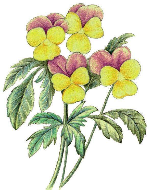 绘画步骤六 6,使用黄色和紫色深入刻画花朵,花瓣中线和花边注意留白