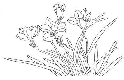 白描马兰花的绘画技法(2)