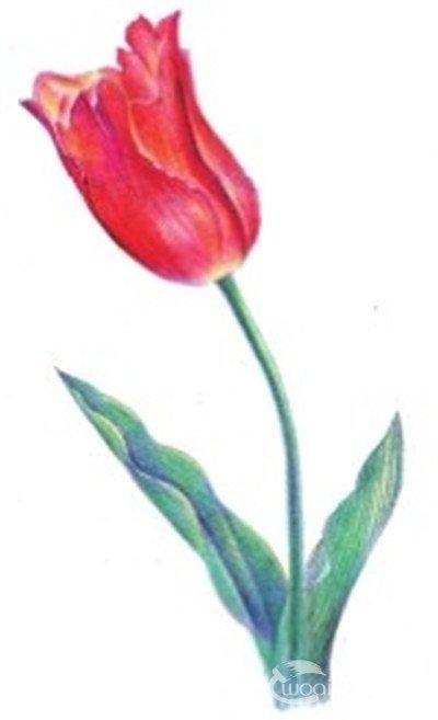 水粉花卉画入门:郁金香的绘画步骤教程