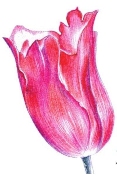 水粉花卉画入门:郁金香的绘画步骤教程(2)