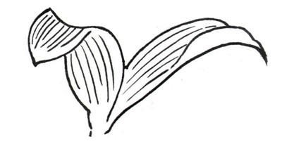 百合花白描叶子