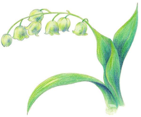 6,综合绿色和绿色为铃兰花的叶子上色.