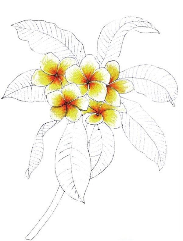 水粉鸡蛋花的绘画教程 5