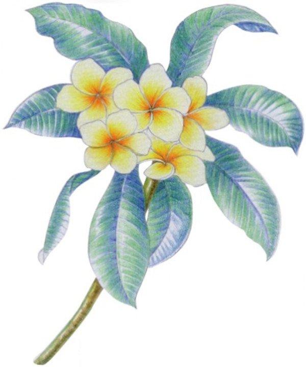 水粉鸡蛋花的绘画教程(6)