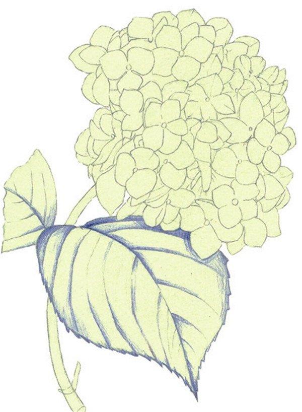水粉画绣球花的绘画步骤三