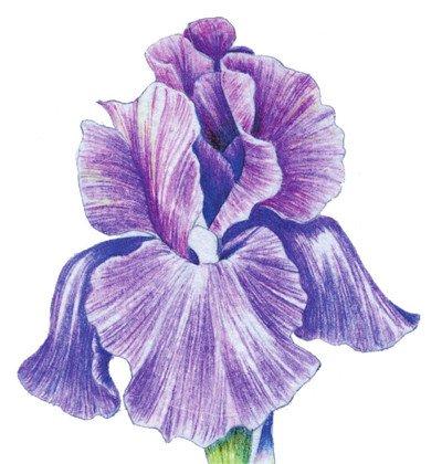 彩铅鸢尾花的绘画步骤七