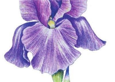 彩铅鸢尾花的绘画步骤八