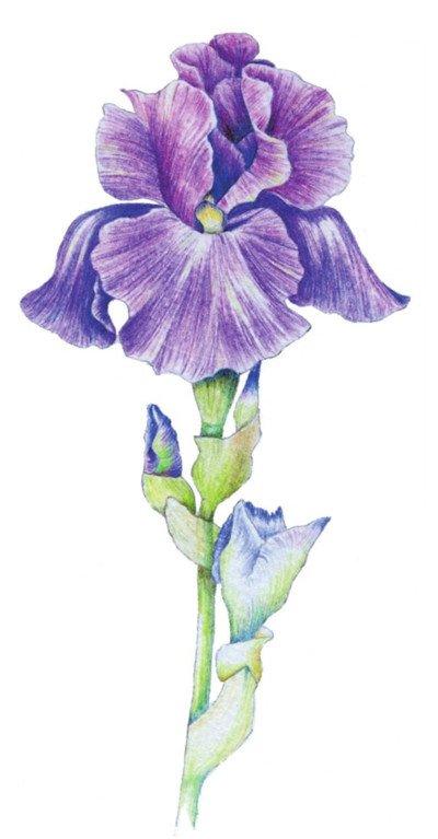 彩铅鸢尾花的绘画步骤九