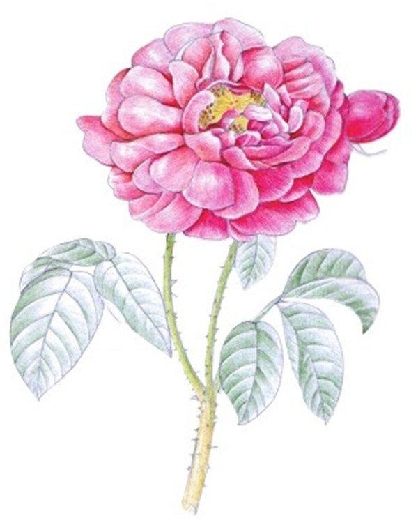 水粉画玫瑰的绘画技法步骤教程(7)