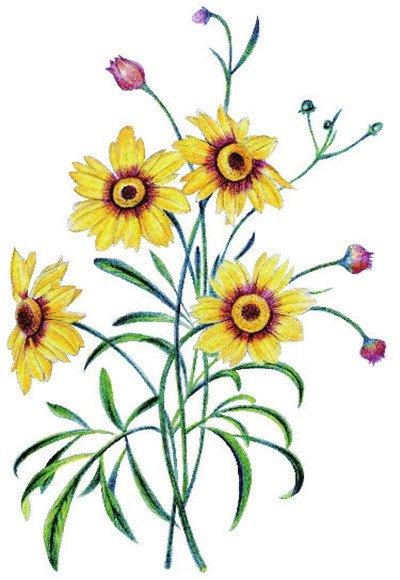 水粉花卉画入门:金鸡菊花的绘画步骤教程(3)