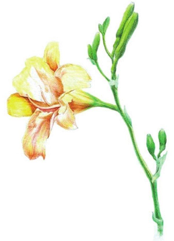 水粉画花卉入门:萱草的绘画步骤教程(2)