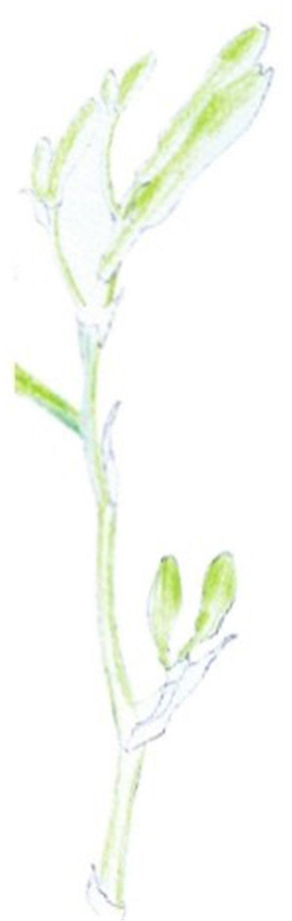 水粉画花卉入门:萱草的绘画步骤教程(4)