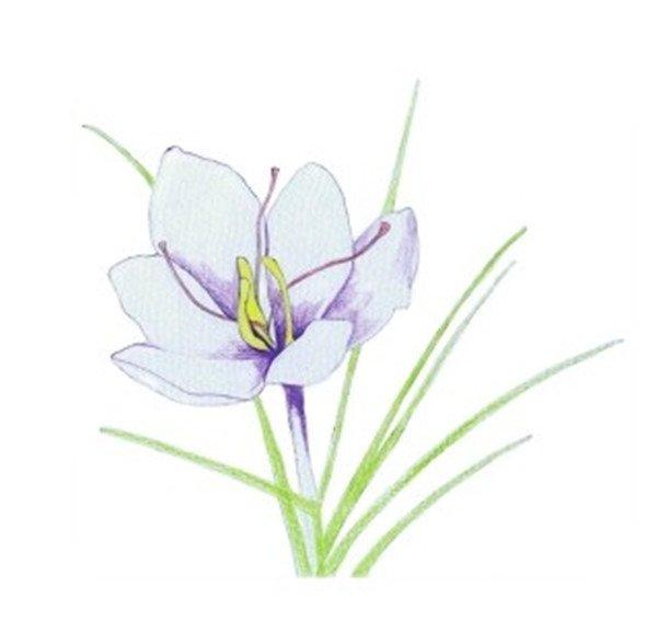 水粉画花卉画入门:番红花的绘画步骤教程(3)