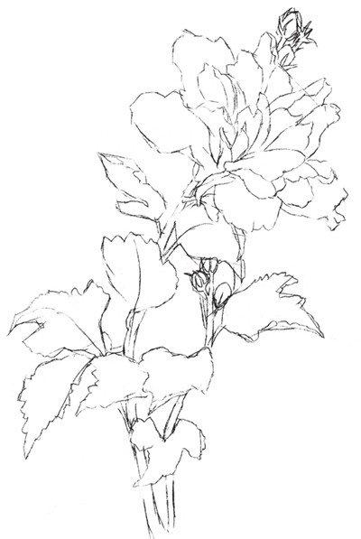 彩铅木槿花的绘画教程(3)