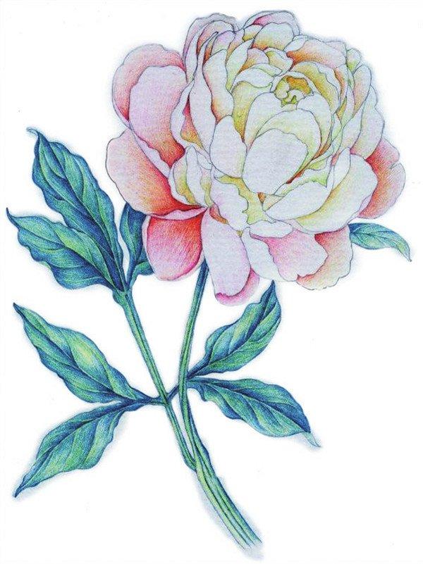 彩铅牡丹的绘画步骤(6)