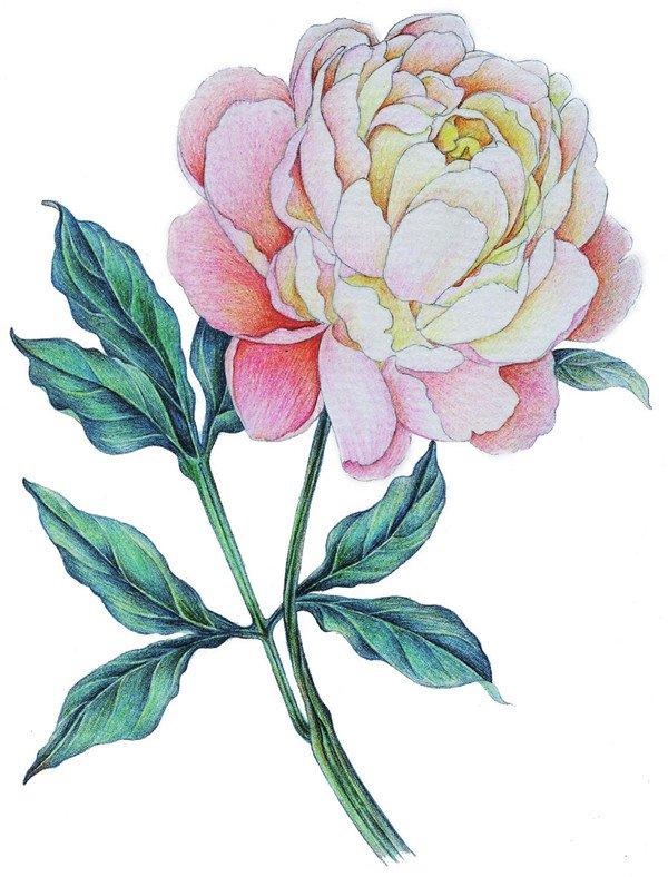 彩铅牡丹的绘画步骤(7)