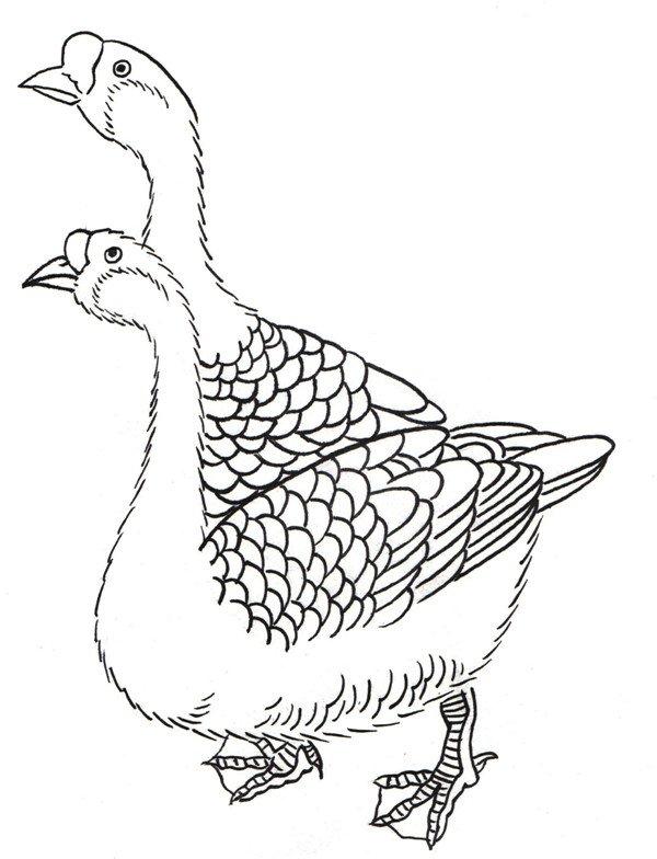 白描鹅的绘画步骤(6)