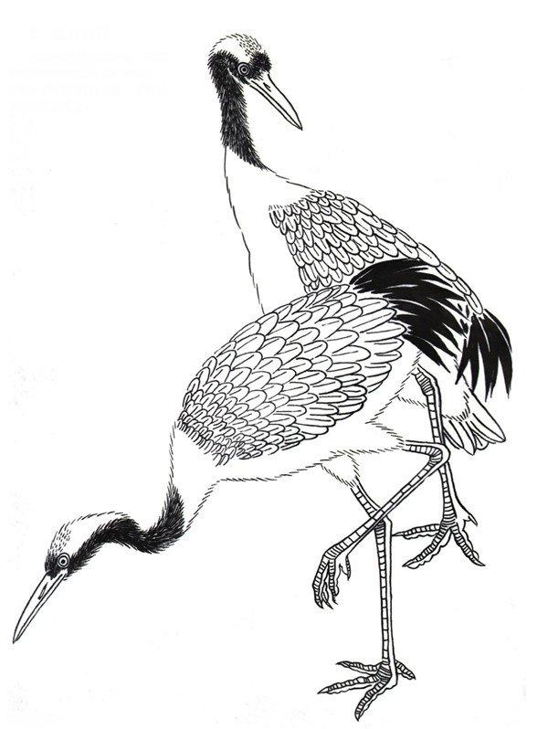 仙鹤工笔画描写,要细制头部分:嘴用重墨!一般羽毛部分就用中墨!