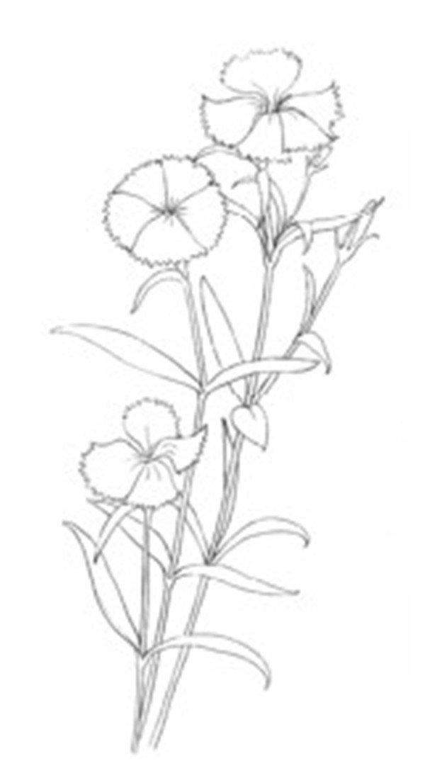 水粉花卉画入门:石竹的绘画步骤教程