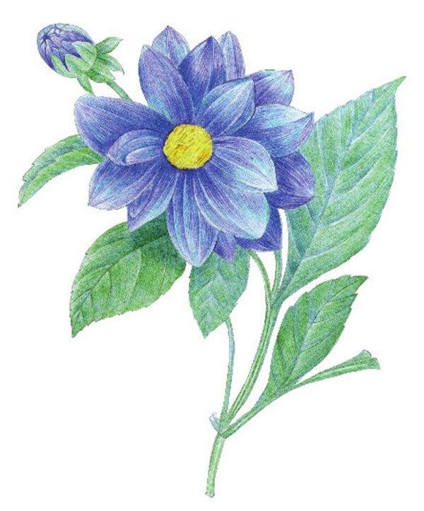 水粉花卉画入门:水粉大丽花的绘画步骤教程(7)