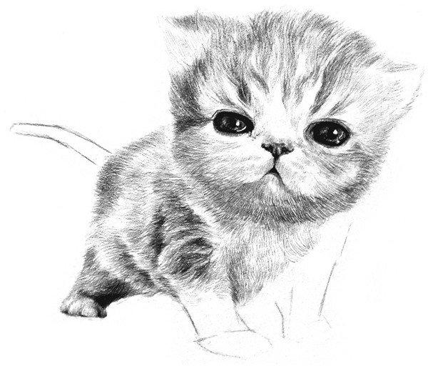 素描动物小猫咪的绘画步骤教程(5)