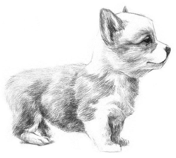 素描动物入门:素描小狗的绘画教程(3)