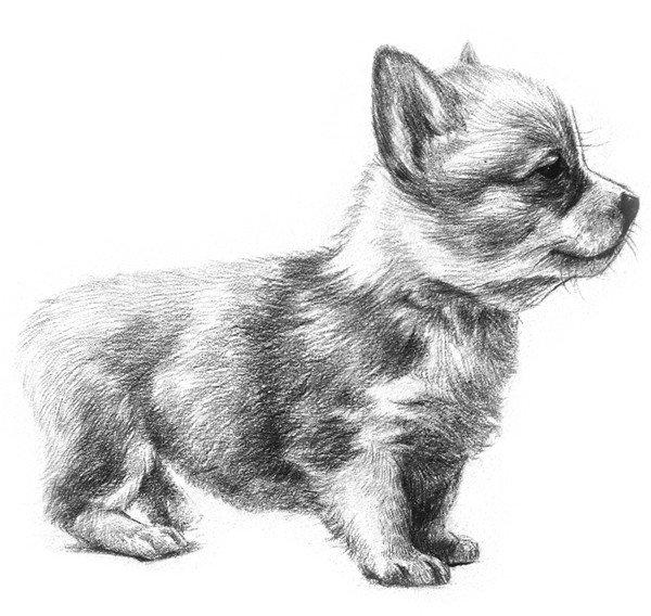 素描动物入门:素描小狗的绘画教程(4)