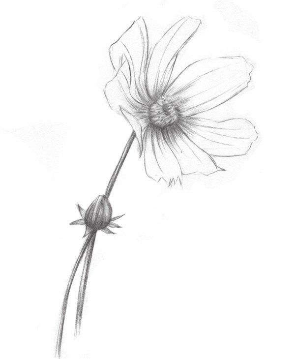 素描植物波斯菊绘画步骤教程(2)