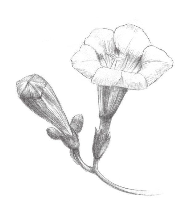 素描凌霄花的绘画步骤四