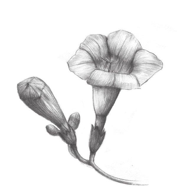 素描植物入门:素描凌霄花的绘画教程(3)
