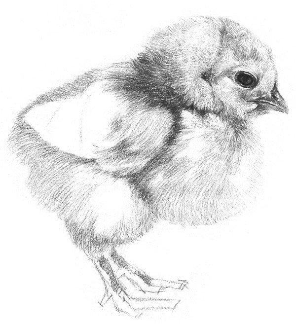6、顺着绒毛的生长方向在小鸡的脑袋上刻画,线条要短促,方向要有变化,下笔要松。  素描小鸡的绘画步骤教程六 7、在小鸡的身上排线,下笔轻巧流畅,带有一点弧度,靠近边缘的地方下笔要轻,这样绒毛才表现得柔软些。  素描小鸡的绘画步骤教程七  素描小鸡的绘画步骤教程七-1 8、整体再加深一点,鸡爪也要画出明暗关系,小鸡的翅膀不需要太细致刻画,表现出一些大概的层次就可以了。