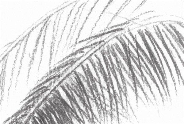 静物素描:椰子树叶的绘画步骤(3)