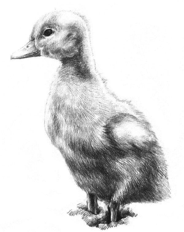素描动物入门:素描小鸭子的绘画步骤_素描教程_学画画
