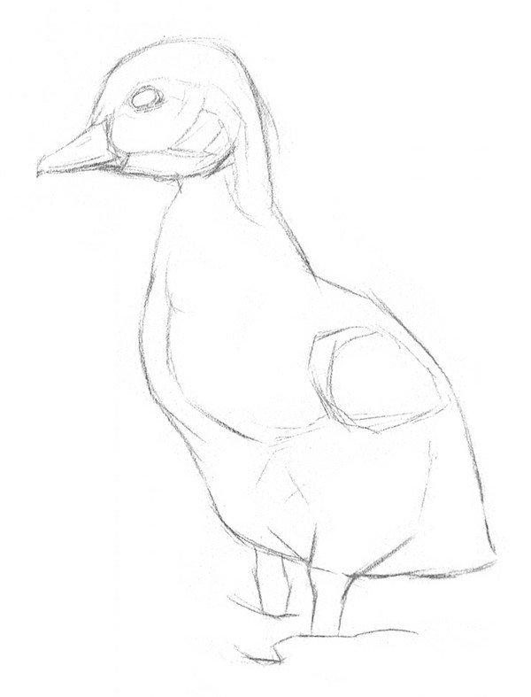素描动物入门:素描小鸭子的绘画步骤