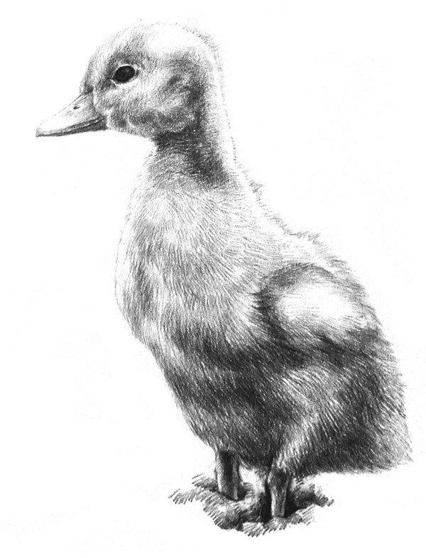 素描动物入门:素描小鸭子的绘画步骤(3)