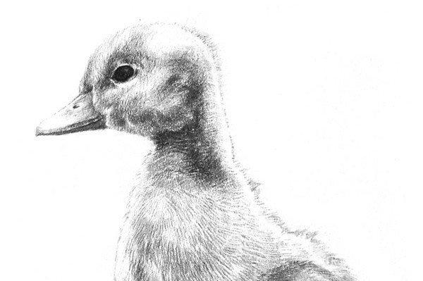 素描动物  素描动物入门:素描小鸭子的绘画步骤