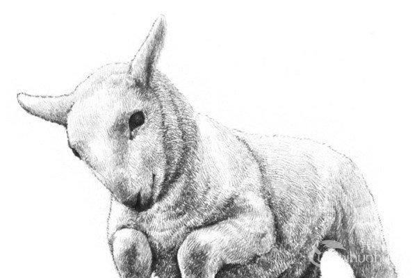 分享素描动物入门:素描小羊的绘画步骤.