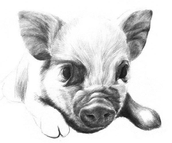 素描动物小猪的绘画步骤(3)