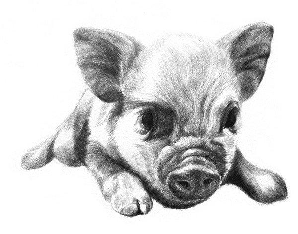 素描动物小猪的绘画步骤(4)