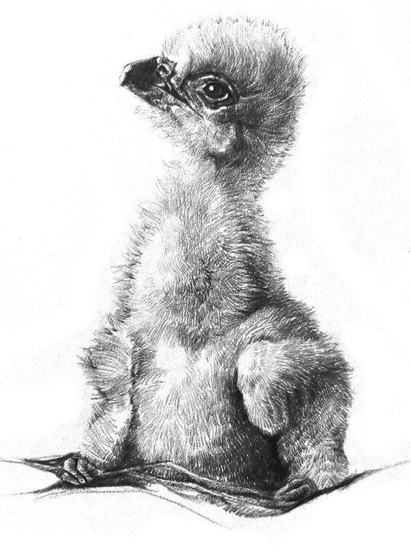 素描动物小鹰的技法步骤教程(3)