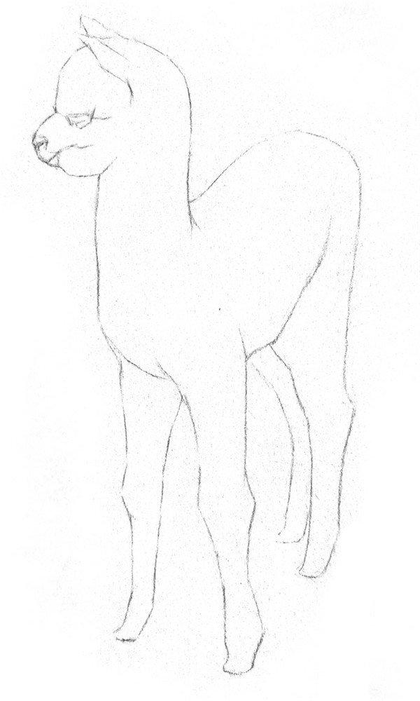 学画画 素描教程 素描动物     素描羊驼的绘画步骤    1,大致描绘出