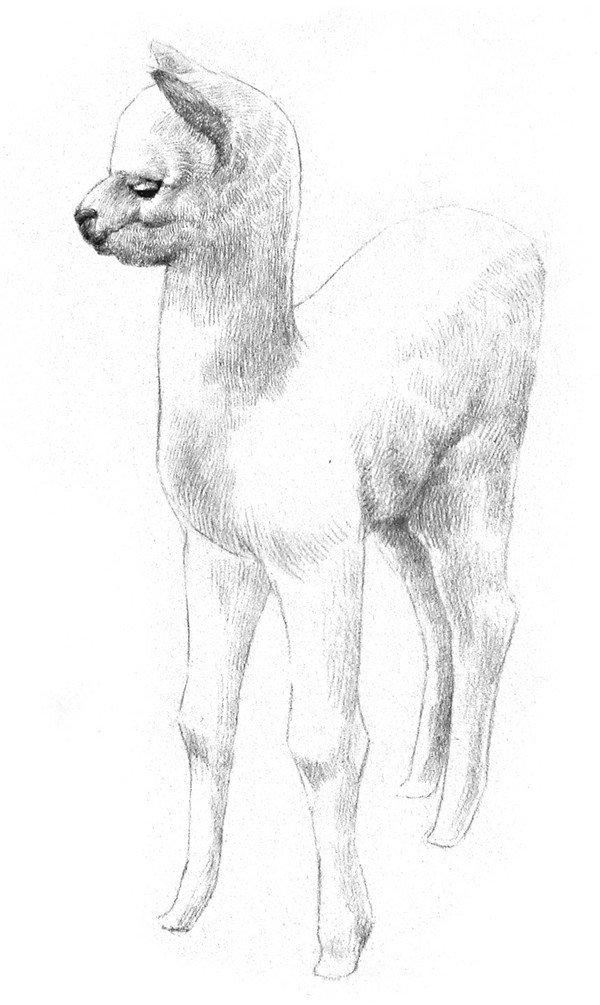 素描羊驼的绘画步骤四