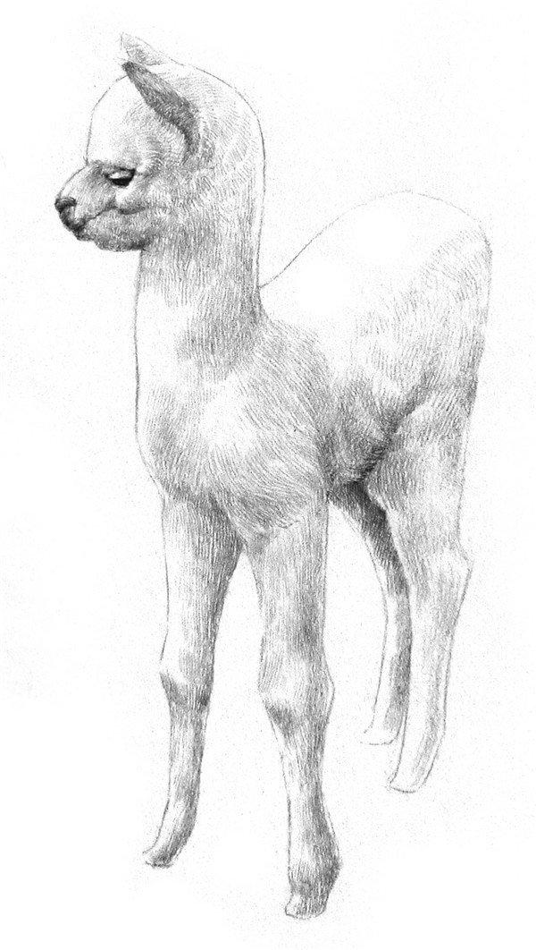 学画画 素描教程 素描动物     4,把眼睛,鼻尖和嘴缝涂黑,在脸颊,后脑