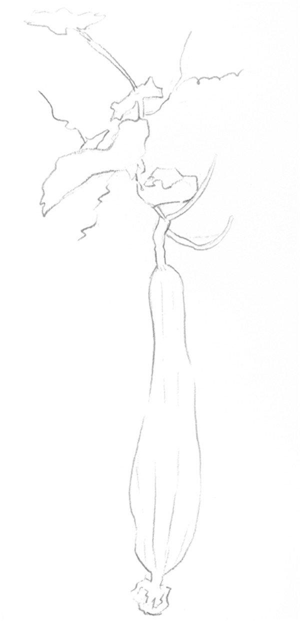 素描丝瓜的绘画步骤二