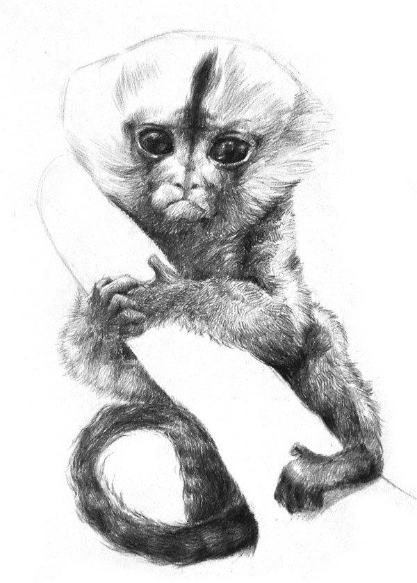 素描小眼镜猴的绘画步骤(5)