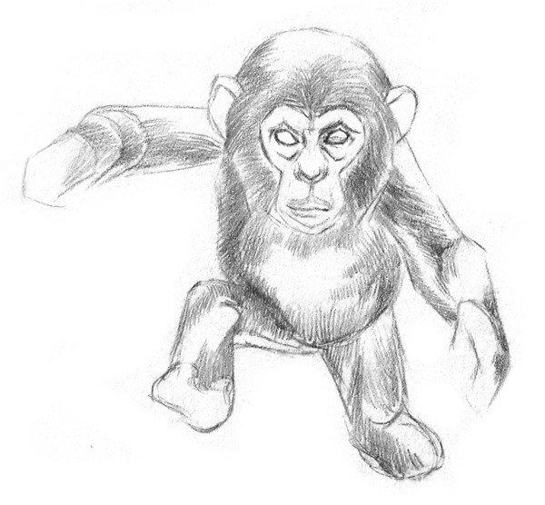 素描猩猩宝宝的绘画步骤(2)