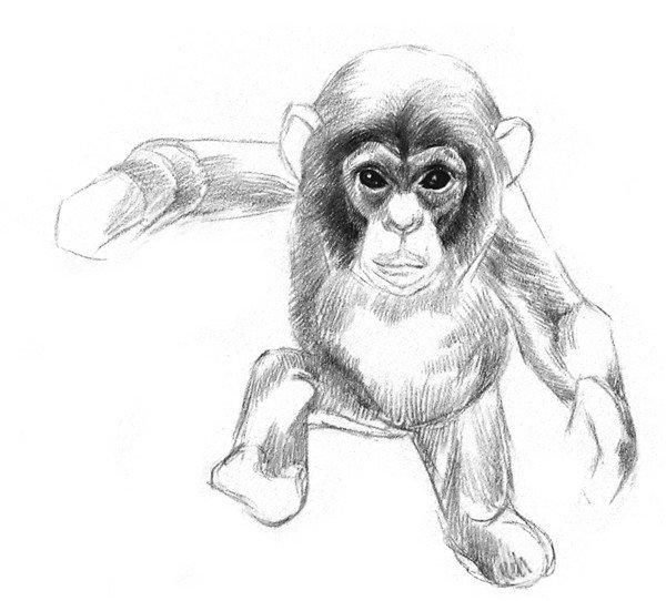 素描猩猩宝宝的绘画步骤(3)